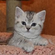 британский котенок уход и фото